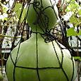 A Bottle Gourd